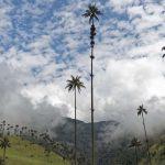 Palma de Cera en el Valle del Cocora